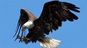eagleswooping